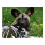 African Wild Dog Photo Postcard