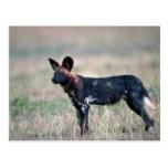 African Wild Dog Postcard