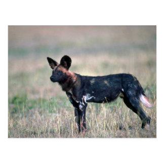 African Wild Dog Post Cards