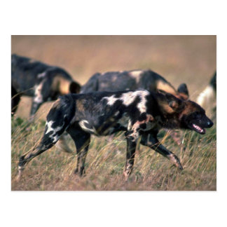 African Wild Dogs hunting on savanna Postcard