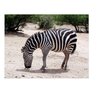 African zebra at the zoo postcard