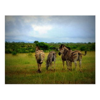 African Zebras in a Natural Setting Postcard