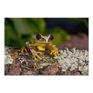 Africano Red Eye Treefrog Leptopelis 2 Arte Fotografico