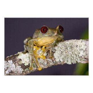Africano Red Eye Treefrog Leptopelis Arte Fotográfico