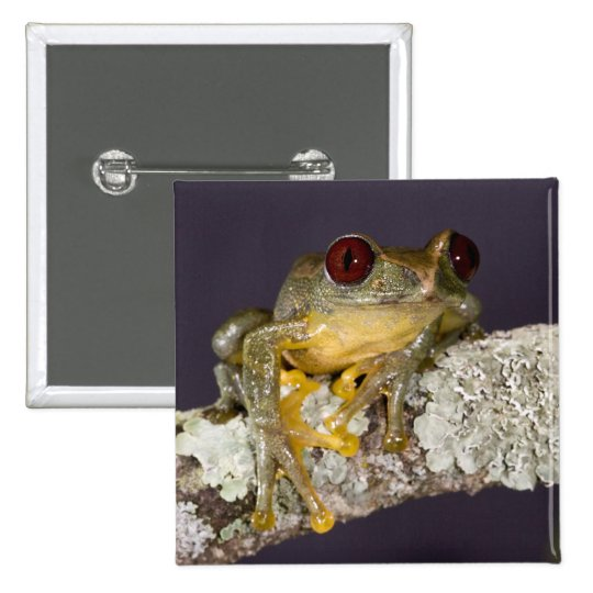 Africano Red Eye Treefrog, Leptopelis Pin Cuadrado