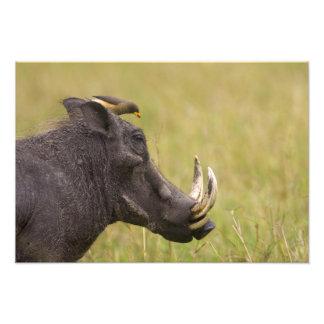 Africanus común del Phacochoerus de Warthog) con Impresion Fotografica