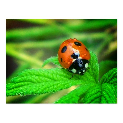 After the rain - Ladybug with droplets Postcard