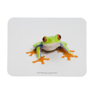 Agalychnis callidryas on white background magnet
