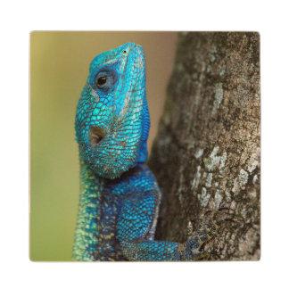 Agama del árbol (atricollis) de Acanthoceros, Posavasos De Madera