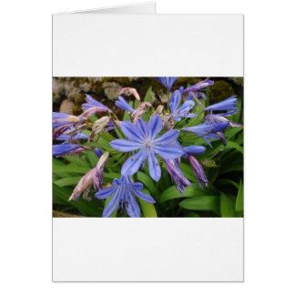 Agapanthus blooms greeting card