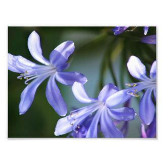 Agapanthus flower blooms photo print