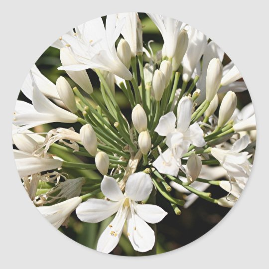 Agapanthus flower in bloom classic round sticker
