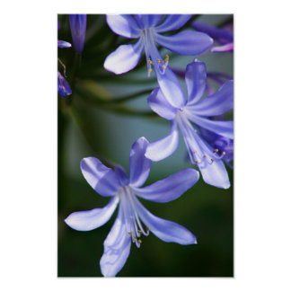 Agapanthus flowers poster