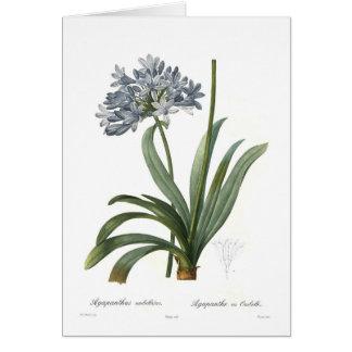 Agapanthus umbellatus by Pierre-Joseph Redouté Cards