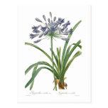 Agapanthus umbellatus post cards