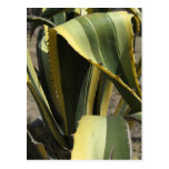 Agave Americana - Maguey Post Cards