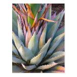 Agave plant Postcard