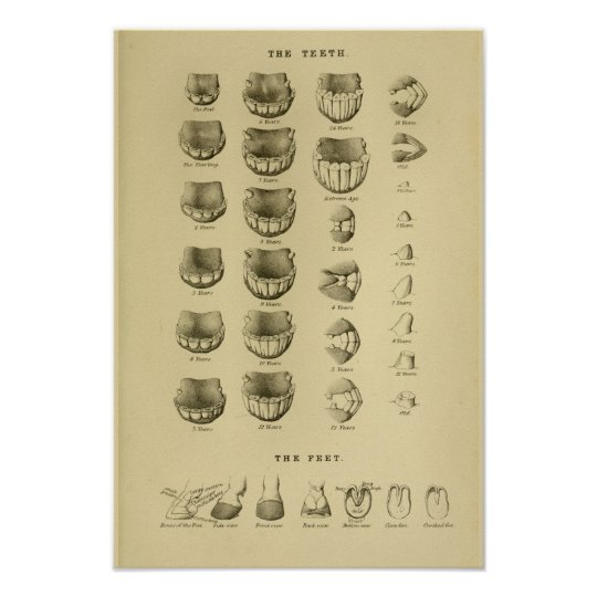 Age of Horse by Teeth Chart Dental Anatomy Poster | Zazzle.com