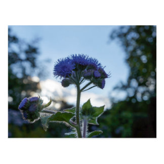 Ageratum Floss Flower Floral Postcard