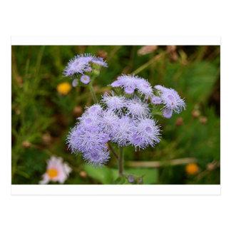 Ageratum flower in bloom postcard