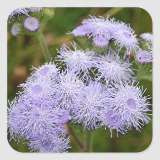 Ageratum flower in bloom square sticker