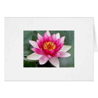 Aggelikis Pink Waterlilly Design Card