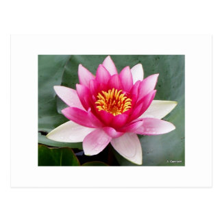 Aggelikis Pink Waterlilly Design Postcard