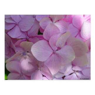 Aggelikis Soft Pink Hydrangea Flower Postcard