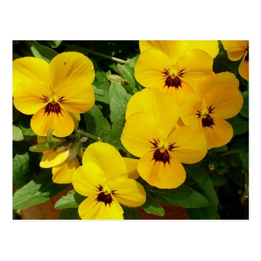 Aggelikis Yellow Pansies Post Card
