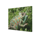 Aggressive Chameleon Wrapped Canvas Print