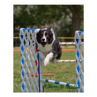 Agility Border Collie Poster