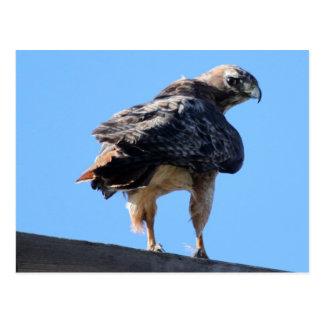 Agitated Red Tail Hawk Postcard
