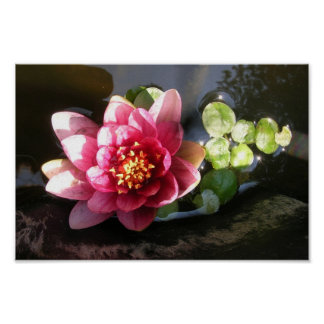 Agosto Waterlily Posters