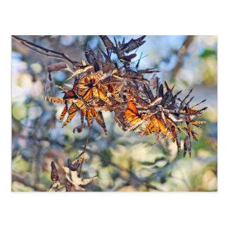Agrupamiento de las mariposas de monarca tarjeta postal