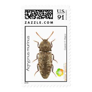 Agrypnus murinus postage