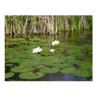 Agua Lillies Postal