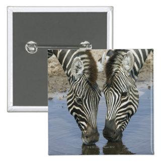 Agua potable de dos cebras (quagga del Equus), Pin