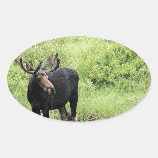 Agua potable de los alces jovenes del toro en una calcomania de oval personalizadas
