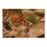 agua potable del tigre tarjetas postales