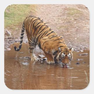 Agua potable real del tigre de Bengala en Pegatina Cuadrada