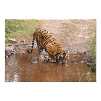 Agua potable real del tigre de Bengala en Fotografias