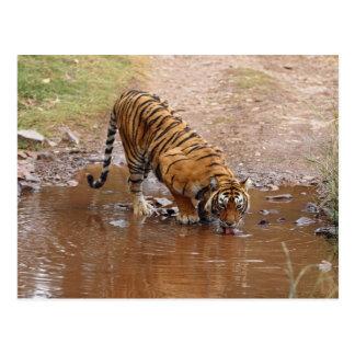 Agua potable real del tigre de Bengala en Postales