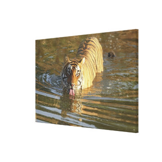 Agua potable real del tigre de Bengala, Ranthambho Impresiones De Lienzo