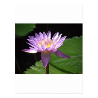 Agua púrpura Lilly Tarjetas Postales