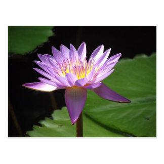 Agua púrpura Lilly Postal