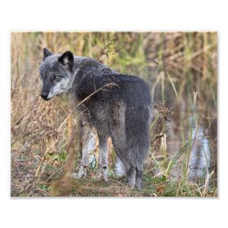 Agua que hace una pausa del lobo de madera cojinete