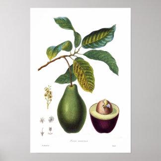 Aguacate (Persea americana) Posters