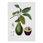 Aguacate (Persea americana) Posters