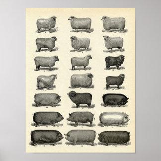 Aguafuerte del ganado del Victorian - cerdos y Póster