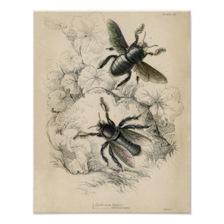 Aguafuerte zoológica clásica - abejas póster